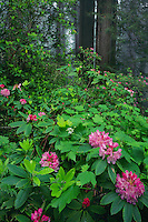 Western rhododendron and coast redwoods<br />