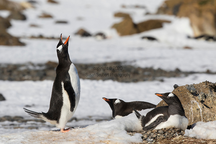 A gentoo penguin vocalizing. Penguin Colony at Brown Bluff, Antarctic Sound, Antarctica