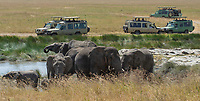 Tourists in safari vehicles stop to watch a herd of African Elephants, Loxodonta africana, in Serengeti National Park, Tanzania