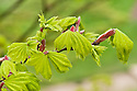 Golden Shirasawa maple (Acer shirasawanum 'Aureum' syn. Acer japonicum 'Aureum'), mid April.