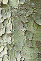 Trunk and bark of Acer trautvetteri. Also known as red-bud or Trautvetter's maple, named after the German botanist Ernst Rudolf von Trautvetter. The tree comes from the Caucasus.