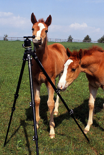 Two colts playing with photographers tripod in pasture