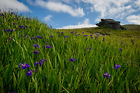 Irises on the tundra near Nome, Alaska. Photo by James R. Evans