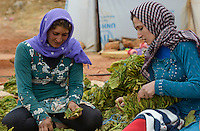 LEBANON Deir el Ahmad, camp for syrian refugees, women work as saisonal worker, tobacco harvest and drying / LIBANON Deir el Ahmad, Camp fuer syrische Fluechtlinge am Dorfrand, Frauen arbeiten als Erntehelfer, Tabakernte und Trocknung, links Najah Mansour