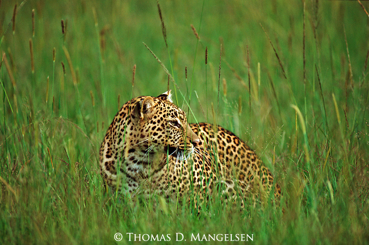 Leopard in the grass of the plains in Maasai Mara.