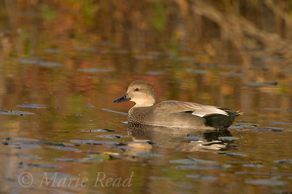 Gadwall (Anas strepera) male swimming, autumn,<br /> Montezuma National Wildlife Refuge, New York, USA