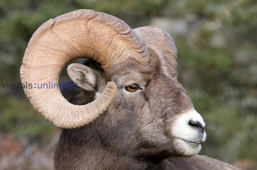 Rocky Mountain Bighorn Sheep, (Ovis canadensis), Jasper National Park, Canada.