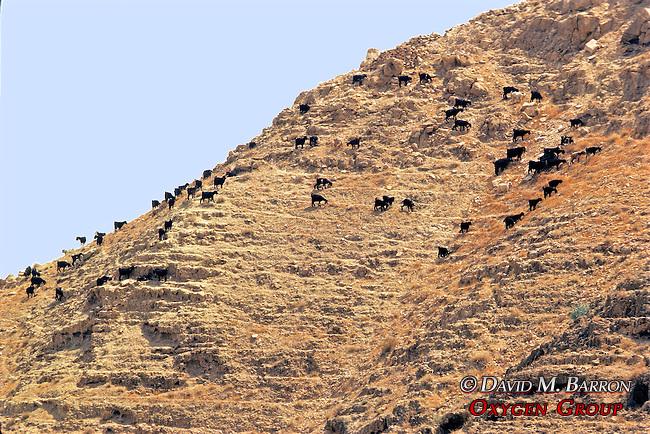 Goats On Hillside