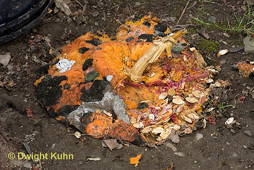 DC10-502z  Pumpkin Fruit and Seeds decaying to soil