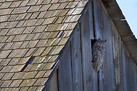 Great Horned Owl in barn opening. Summer Lake State Wildlife Refuge. Oregon