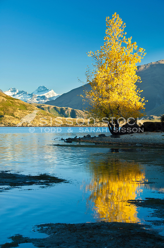 Autumn tree reflected in Lake Wanaka. Mt Aspiring in the background, South Island, New Zealand