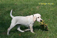 SH39-503z 3 Month old Labs, Labrador Retriever