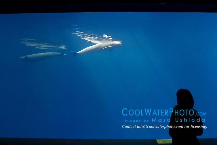aquarium visitor observing finless porpoises, Neophocaena phocaenoides (c), Info-Pacific Ocean