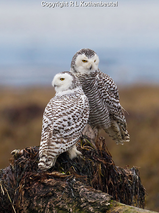 Two snowy owls perched on a stump in the tidelands of Boundary Bay