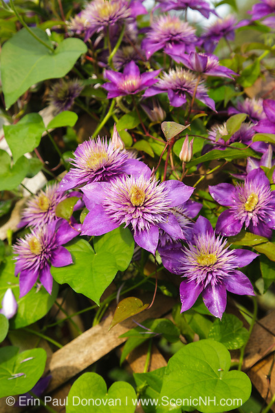 Clematis flowers during the summer months at  Prescott Park in Portsmouth, New Hampshire USA
