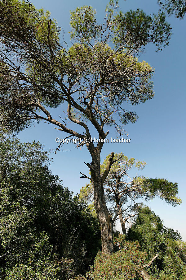 Israel, Aleppo Pine Tree in the Jerusalem Mountains<br />