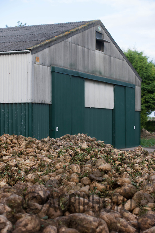 Sugar beet in a heap<br /> Picture Tim Scrivener 07850 303986