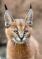 Caracal Kitten (Caracal caracal.   Caracals are found from Africa to Central Asia and India.