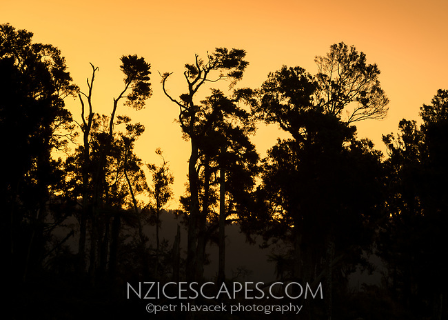 Totara, native trees in summer sunset, South Westland, West Coast, New Zealand, NZ