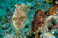 Papuan Cuttlefish, Sepia papuensis, Raja Ampat, Indonesia,