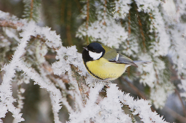 Great Tit, Parus major, female on branch with frost by minus 15 Celsius, Lenzerheide, Switzerland, Dezember 2005