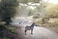 Zebra pause on the road as the sun rises in Tarangire National Park