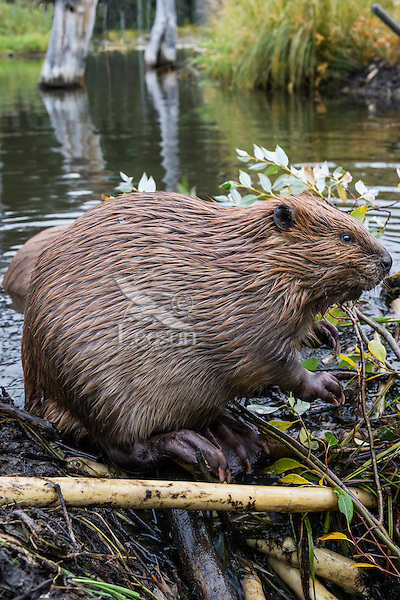 North American Beaver (Castor canadensis) sitting/resting for a moment while working on dam.  Northern Rockies,  Fall.