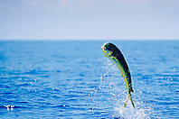 mahi mahi, dolphin Fish or dorado bull leaping, Coryphaena hippurus, off Kona Coast, Big Island, Hawaii, Pacific Ocean