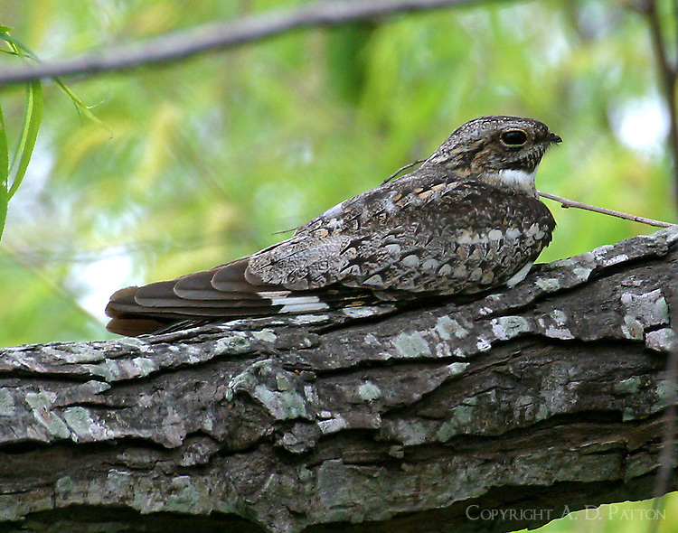 Gray adult male common nighthawk roosting at Paradise Pond, Port Aransas, TX. Note nighthawks roost longitudinally on branch unlike other birds.