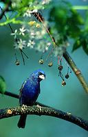 A Blue Grosbeak.