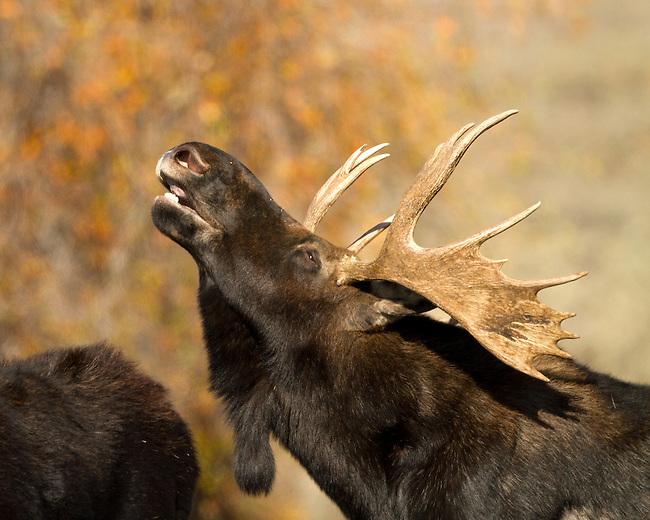 Bull moose in rut. Teton National Park.