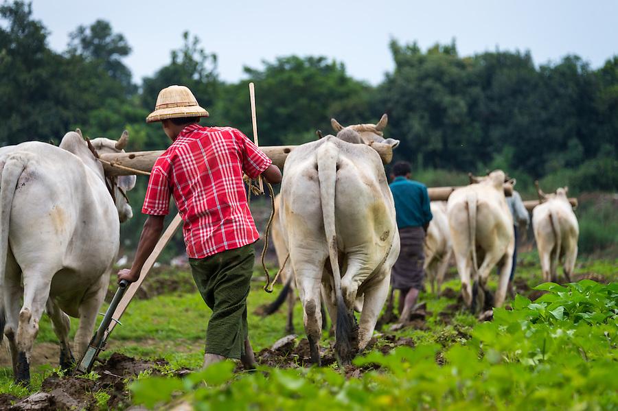 MANDALAY, MYANMAR - CIRCA DECEMBER 2013: Farmers plowing a field by buffalo in the countryside close to Amarpura in Myanmar