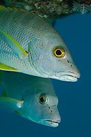 The cubera Snapper, Lutjanus cyanopterus, is considered a vulnerable species, Bonaire, Netherlands Antilles, Caribbean.