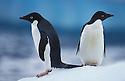 Adelie penguins on iceberg; Paulet Island, Antarctica