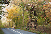 Big Belly Oak in Savernake Forest, Marlborough, Wiltshire one of our more noteable ancient trees believed to be over 1,000 years old. Pedunculate or English Oak Quercus robur Fagaceae Height to 36m. Spreading, deciduous tree with dense crown. Bark Grey, thick and fissured with age. Branches Dead branches emerge from canopy of ancient trees. Buds hairless. Leaves Deeply lobed with 2 auricles at base; on very short stalks (5mm or less). Reproductive parts Flowers are catkins. Acorns, in groups of 1–3, with long stalks and scaly cups. Status Widespread; prefers heavier clay soils to Sessile Oak.