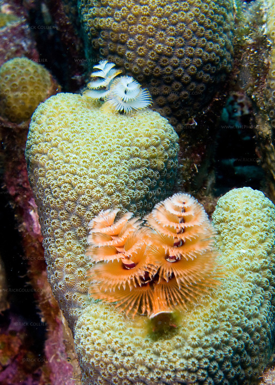 "Diving Bonaire, Netherland Antilles -- Christmas Tree Worms emerge from small coral formations.  (""Angel City"" dive site.)"
