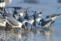 Laughing Gulls, eating horseshoe crab eggs, Kimble's Beach, New Jersey