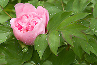 Paeonia peony pink suffruticosa in spring bloom with raindrops dew water on foliage leaves