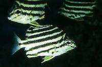 Nagasakifisch, Nagasaki-Fisch, Microcanthus strigatus, Chaetodon strigatus, Micrognathus strigatus, stripey