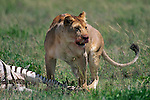Lion feeds on a zebra carcass in Tanzania.