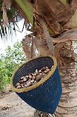 Aldeia Baú, Para State, Brazil. Babassu nuts in a basket.
