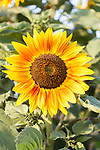 Helianthus yellow sun face head sunflower plant flower flowering close up, UK