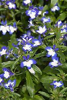 Lobelia erinus Superstar bicolored annual flower