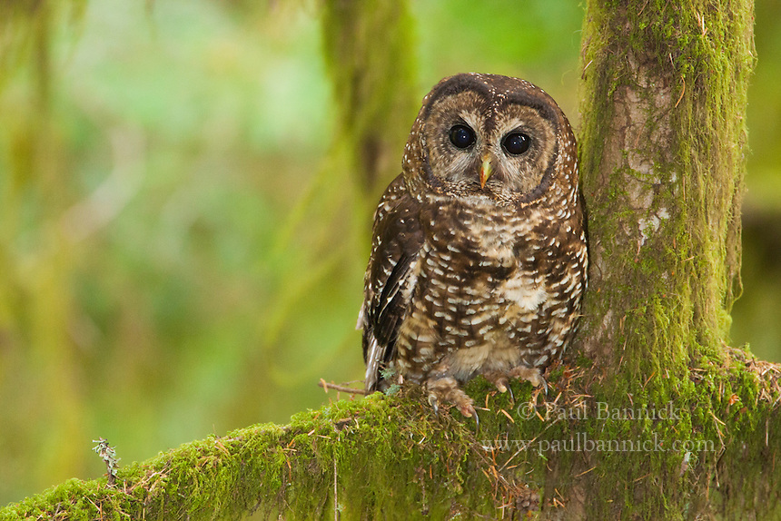 A Northern Spotted Owl roosts beneath the canopy of a wet forest in coastal Oregon. These owls rarely venture from the protection afforded by these dense forests.