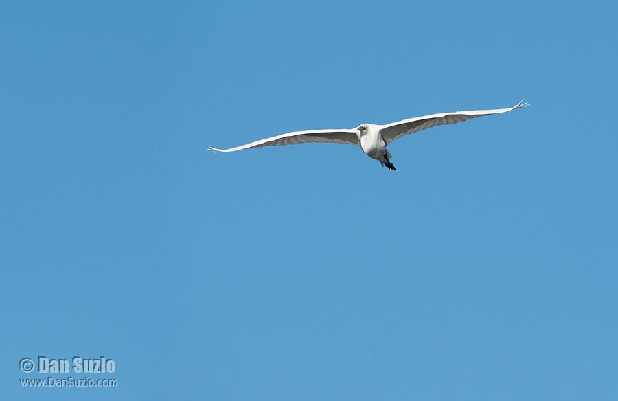 Great Egret, Ardea alba, flies over Upper Klamath Lake, near Klamath Falls, Oregon