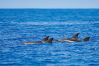 Rough-toothed Dolphins, spouting, Steno bredanensis, off Kona Coast, Big Island, Hawaii, Pacific Ocean.