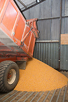 Tractor and trailer tipping Maize in a grain store<br /> Picture Tim Scrivener 07850 303986<br /> &hellip;.covering agriculture in the UK&hellip;.
