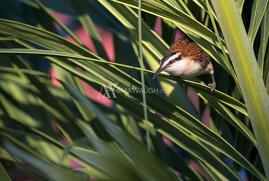 Rufous-naped wrens like to hang out on the grounds of one of our lodges.