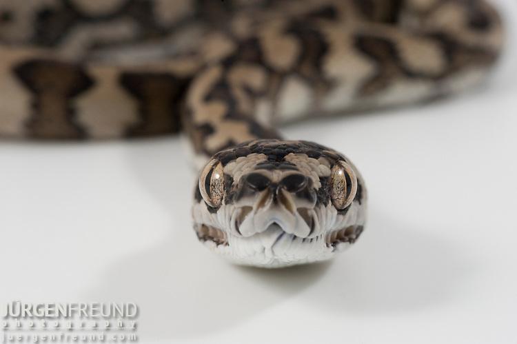 Baby Coastal Carpet Python (Morelia spilota mcdowelli) on white background