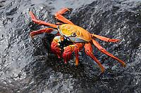 Sally Lightfoot Crab (Grapsus grapsus), adult, Española Island, Galapagos, Ecuador, South America
